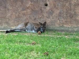 Sleepy wallaby